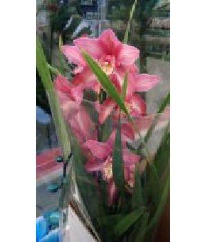 Орхидея Цимбидиум розовая в горшке