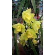 Орхидея Цимбидиум в горшке желтая