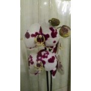 Орхидея Фаленопсис пятнистая