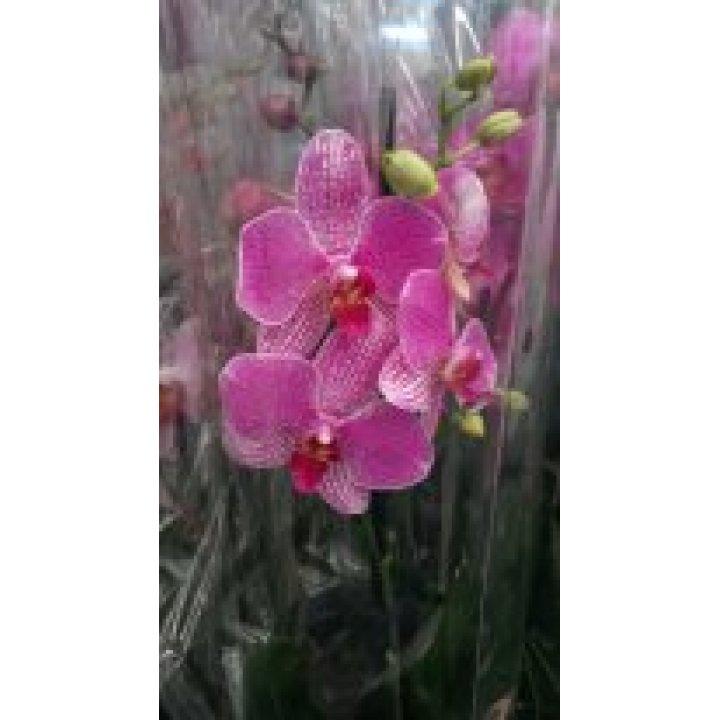 Орхидея Фаленопсис розовая пестрая