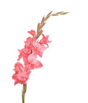 Гладиолус розовый