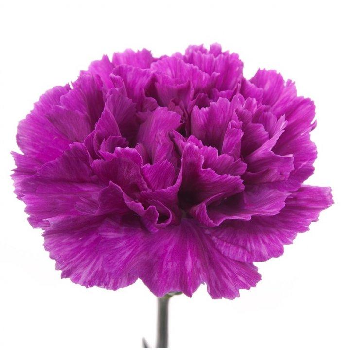 Гвоздика одноголовая фиолетовая