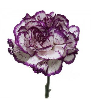 Гвоздика одноголовая фиолетово-белая