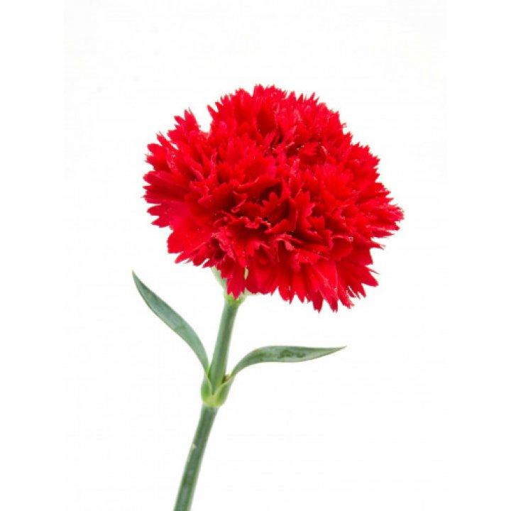 Гвоздика одноголовая красная