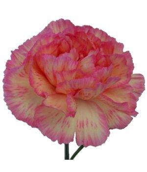 Гвоздика одноголовая желто-розовая