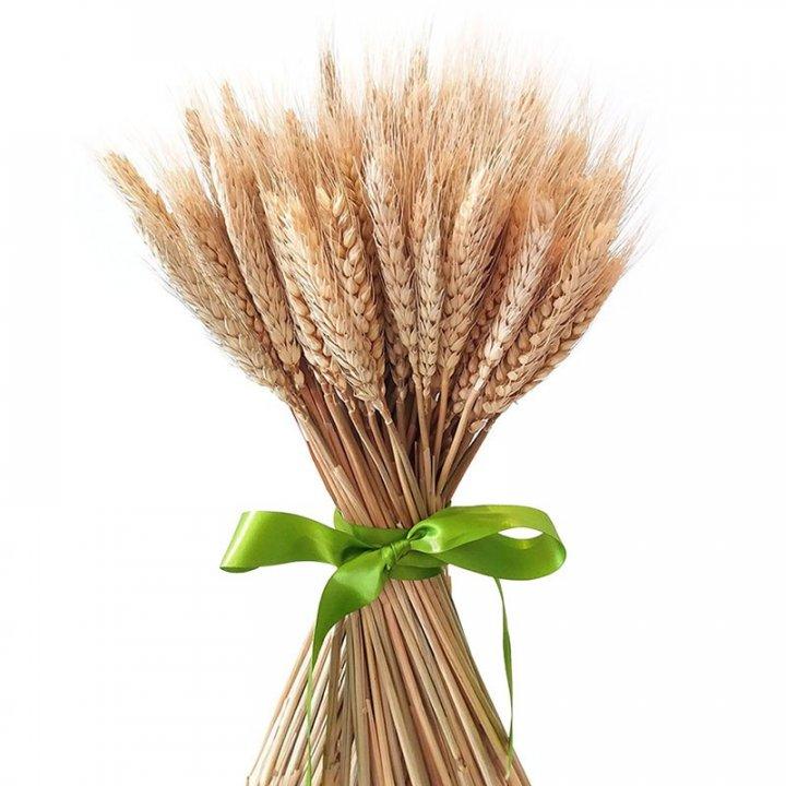 Колосья пшеницы (тритикум)