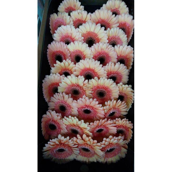 Герберы мини кремовые с черно-розовой серединкой