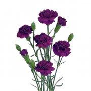 Гвоздика кустовая фиолетовая