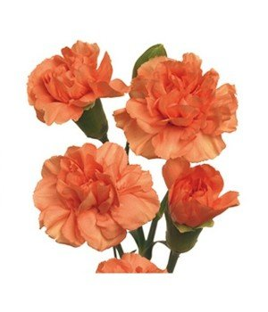 Гвоздика кустовая оранжевая