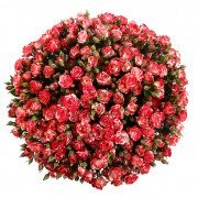 Кустовые розы Файрворкс