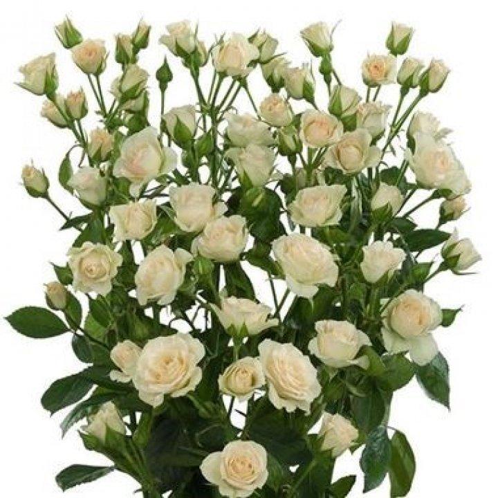 Кустовые розы Крем Грация