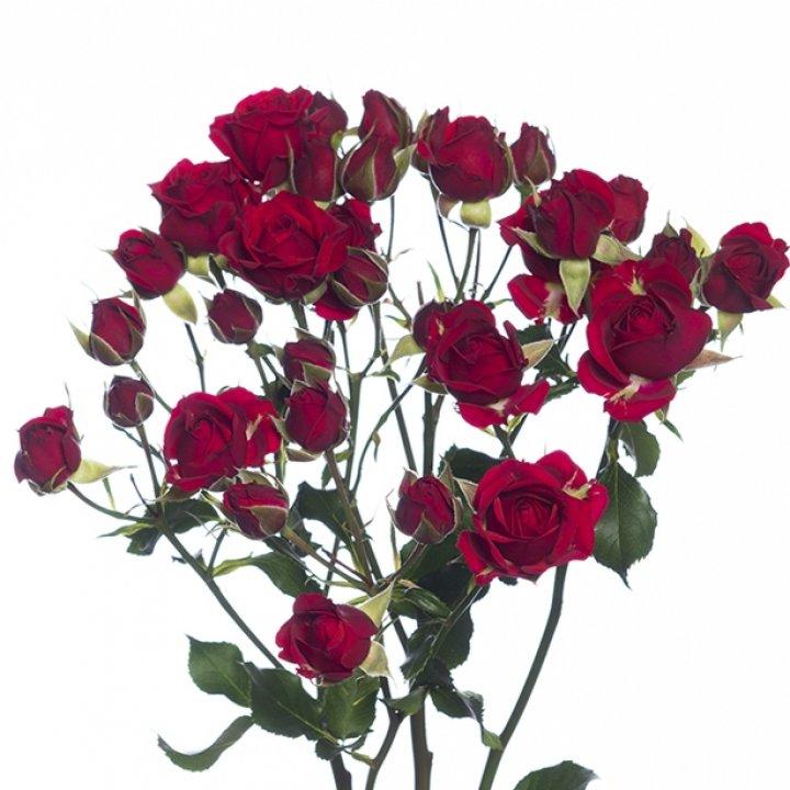 Кустовые розы Мирабель