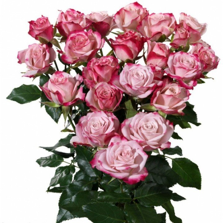 Кустовые розы Рефлекс