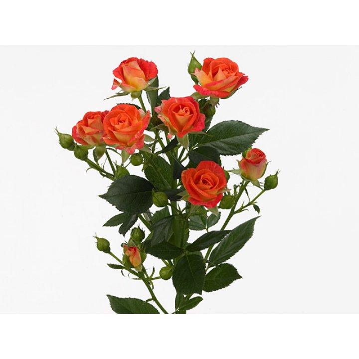 Кустовые розы Беби