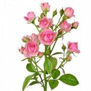 Кустовые розы Пинк