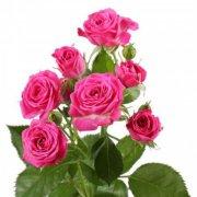 Кустовые розы ярко-розовые