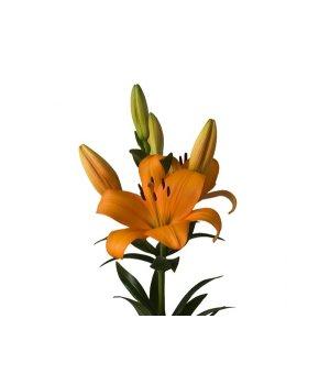 Лилия азиатская оранжевая