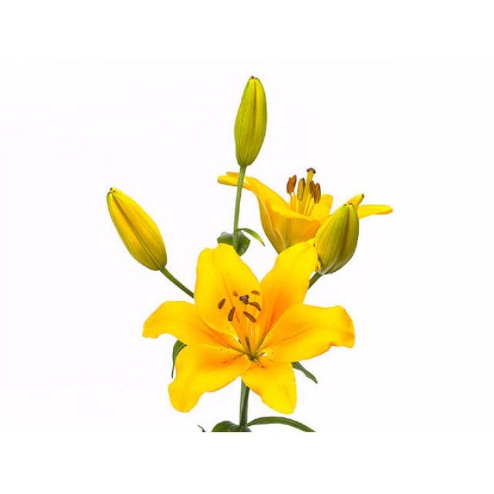 Лилия азиатская желтая