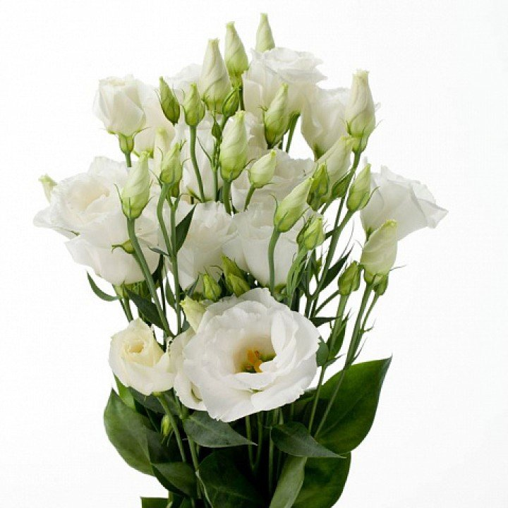 Лизиантус (эустома) белый