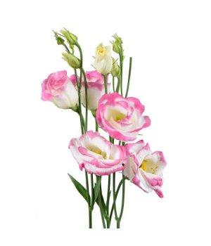 Лизиантус (эустома) бело-розовый