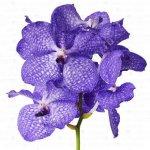 Орхидеи Ванда в срезке
