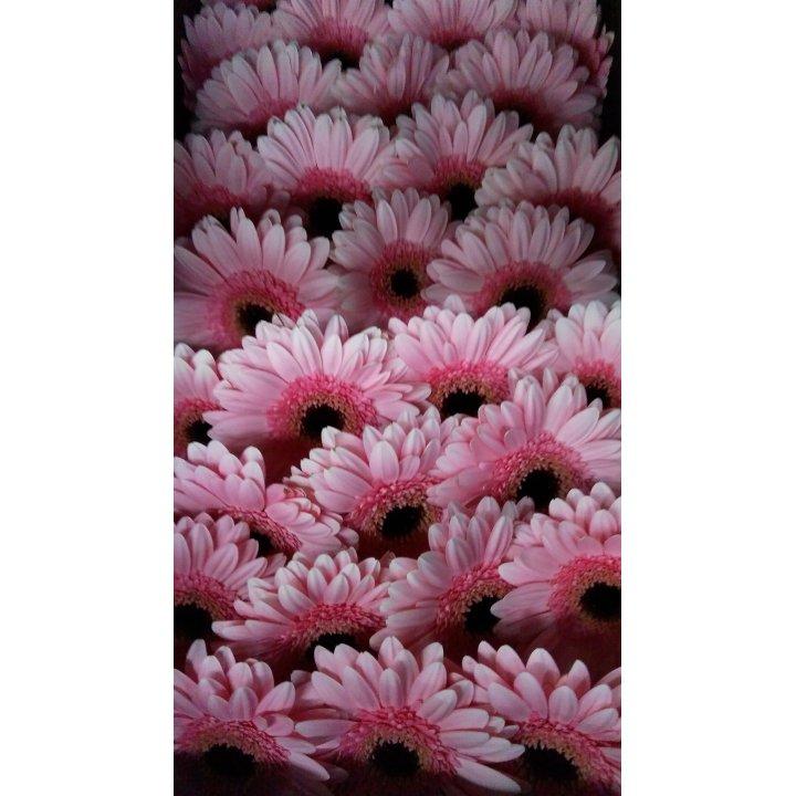 Герберы мини розовые с черной серединкой