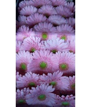 Герберы мини розовые с зеленой серединкой