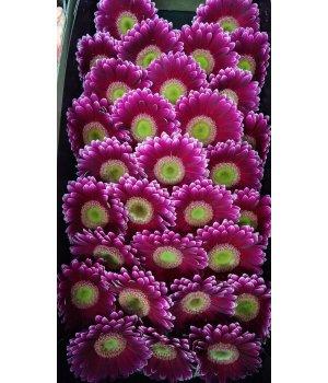 Герберы мини вишневые с зеленой серединкой