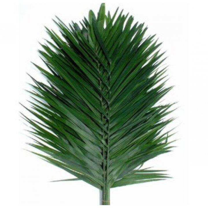 Листья пальмы Робелини