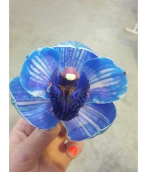 Орхидея Цимбидиум Блю