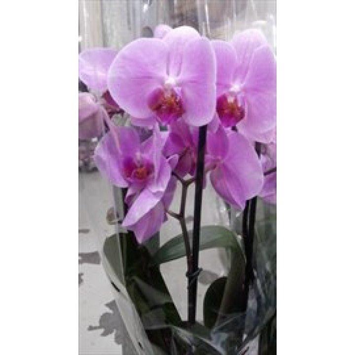 Орхидея Фаленопсис сирень