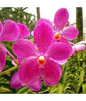 Орхидея Ванда Мейджик Пинк