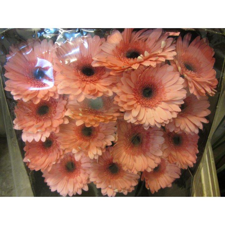 Герберы бледно-розовые