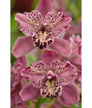 Орхидея Цимбидиум фиолетовая