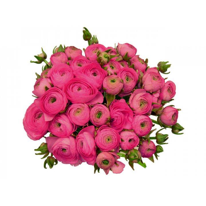 Ранункулюс ярко-розовый