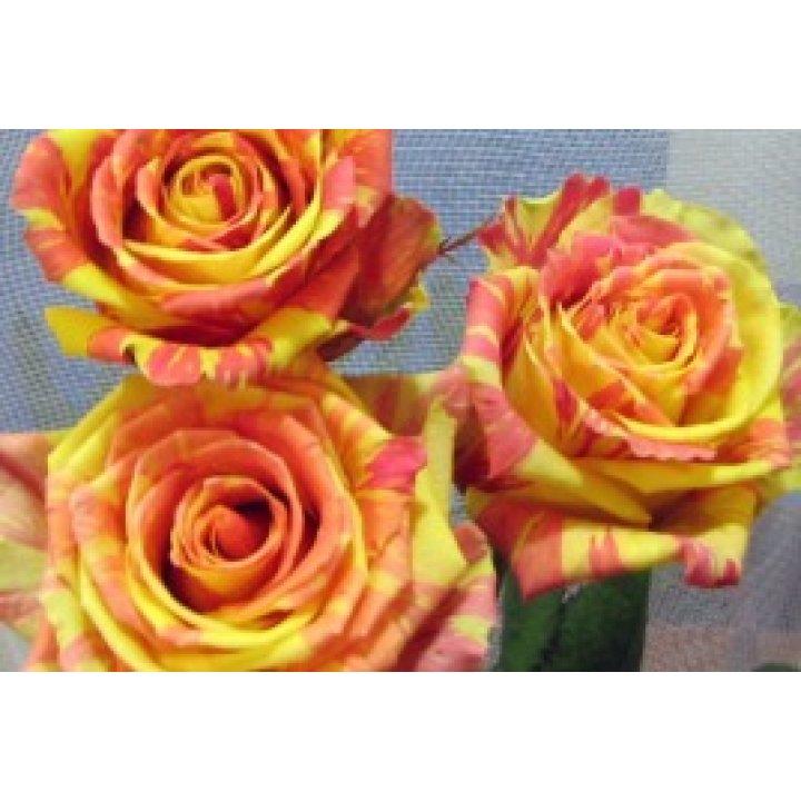 Розы Фиеста