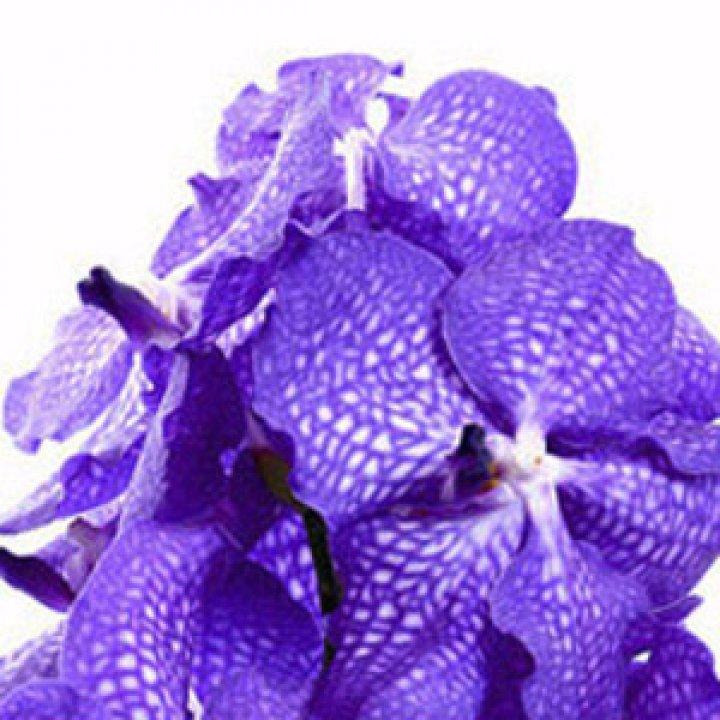 Орхидея Ванда Блю Мейджик