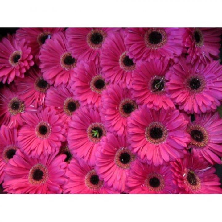 Герберы ярко-розовые
