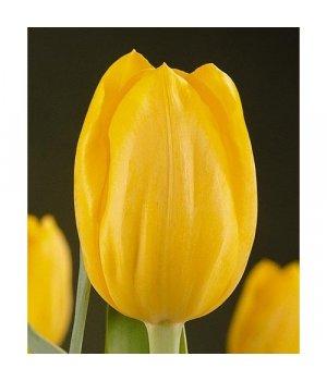 Тюльпаны Лайонс Глори