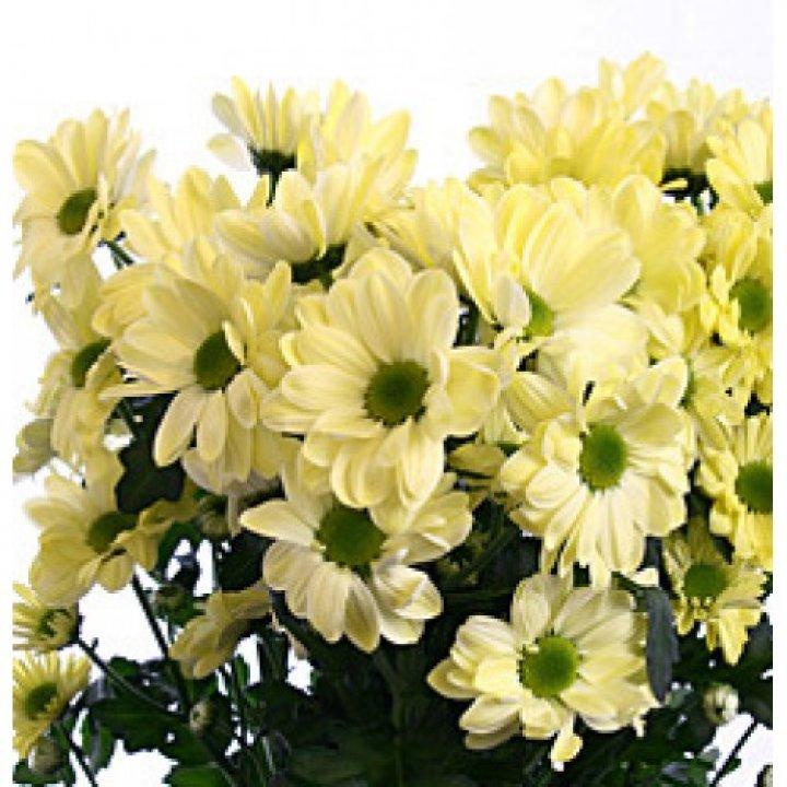 Хризантема кустовая Бакарди Крем