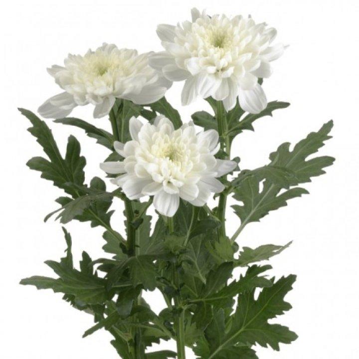 Хризантема кустовая Балтика Вайт