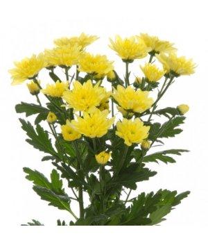 Хризантема кустовая Балтика Еллоу