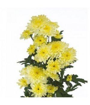 Хризантема кустовая Балтика Крем