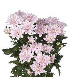Хризантема кустовая Балтика Пинк