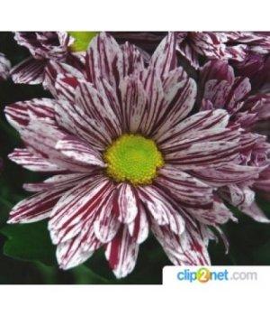 Хризантема кустовая Глосси