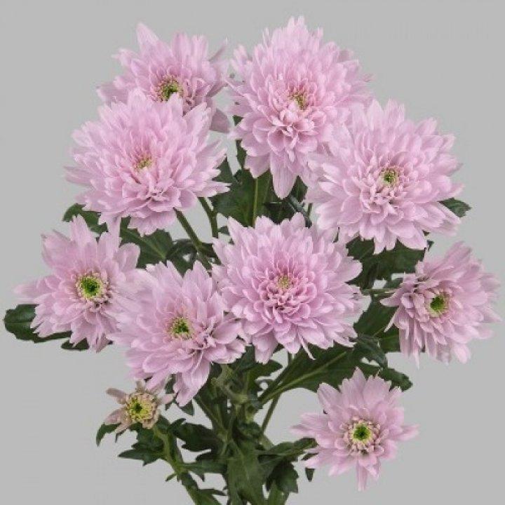 Хризантема кустовая Евро Пинк