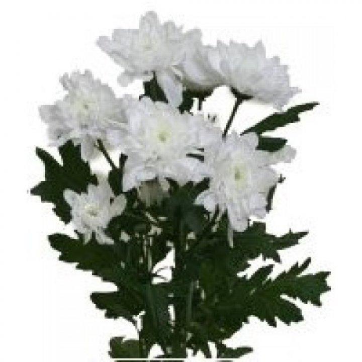 Хризантема кустовая Зембла Вайт