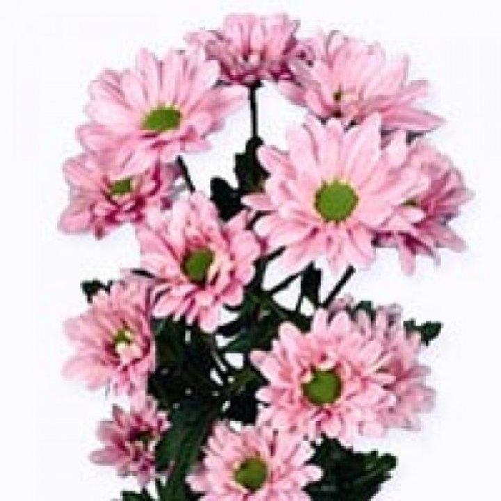 Хризантема кустовая Катинка