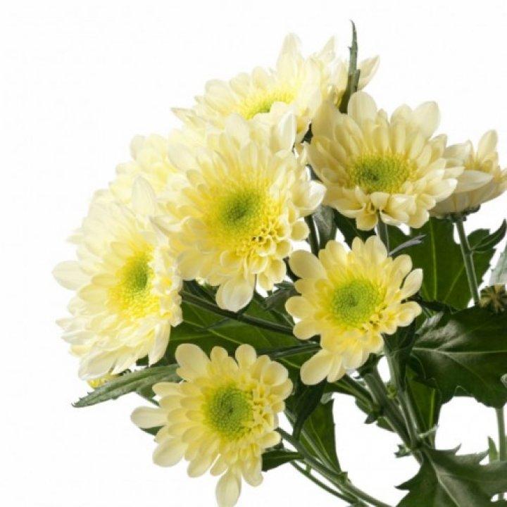 Хризантема кустовая Радость Крем