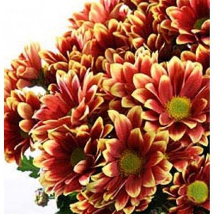 Хризантема кустовая Флейрис